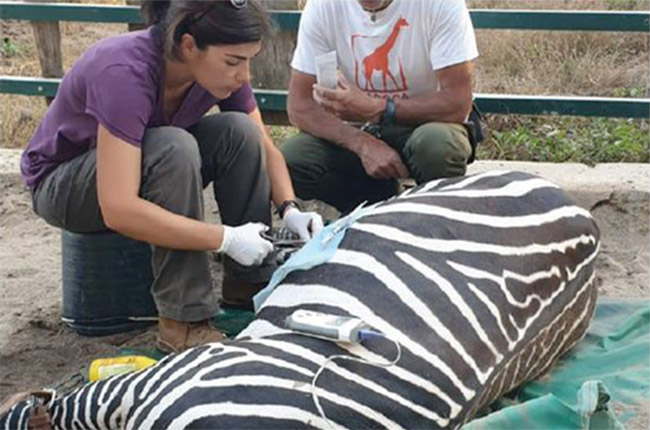 Vet carrying out surgery on zebra