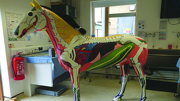 Building a life-size equine anatomical model