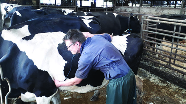 Combining clinical work as a cattle practitioner with studying