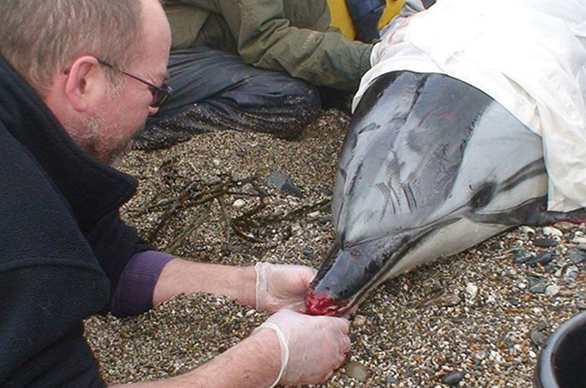 James Barnett tends to injured dolphin