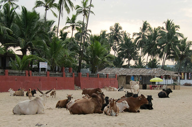 Cows on the beach in Goa, India